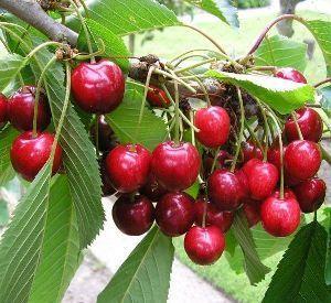Prunus avium 'Lapins', sötkörsbär.Kanadensisk sort, självpollinerande. Zon: III ympat på Gisela grundstam på andra stammar zon II.