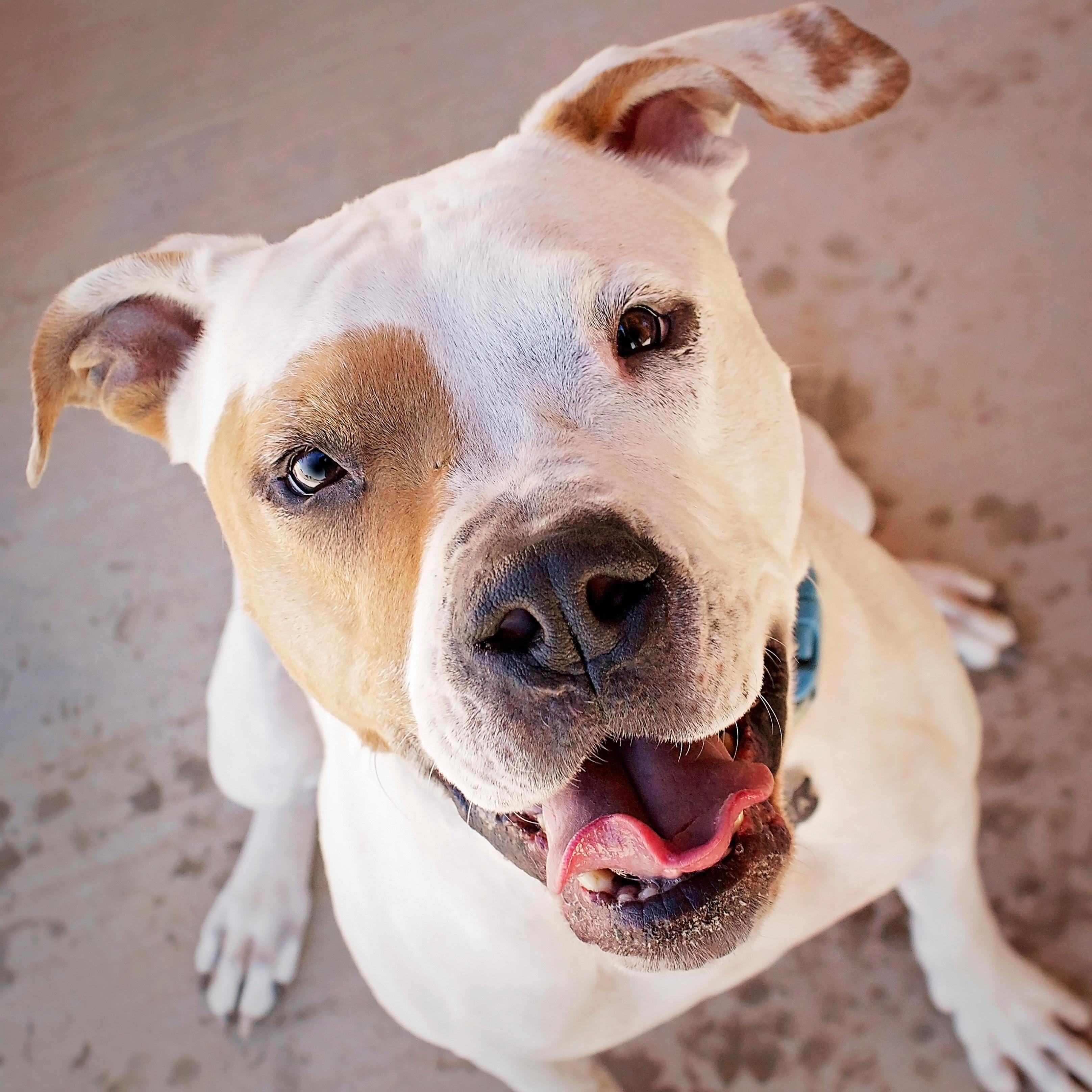 American Bulldog dog for Adoption in Peoria, AZ. ADN
