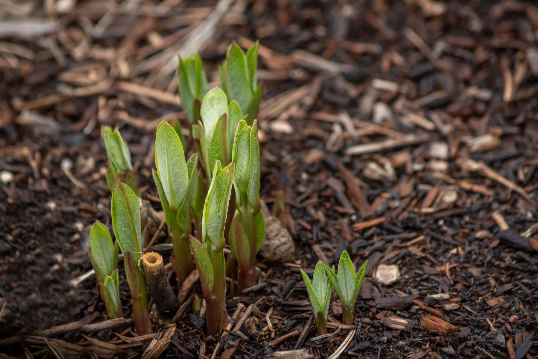 how to plant milkweed seeds in spring