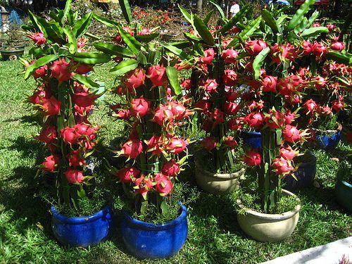 Dragon Fruit Trees Sukkulenten Gewachs Garten