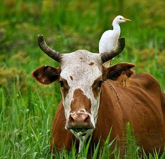 cattle egrets and livestock relationship test