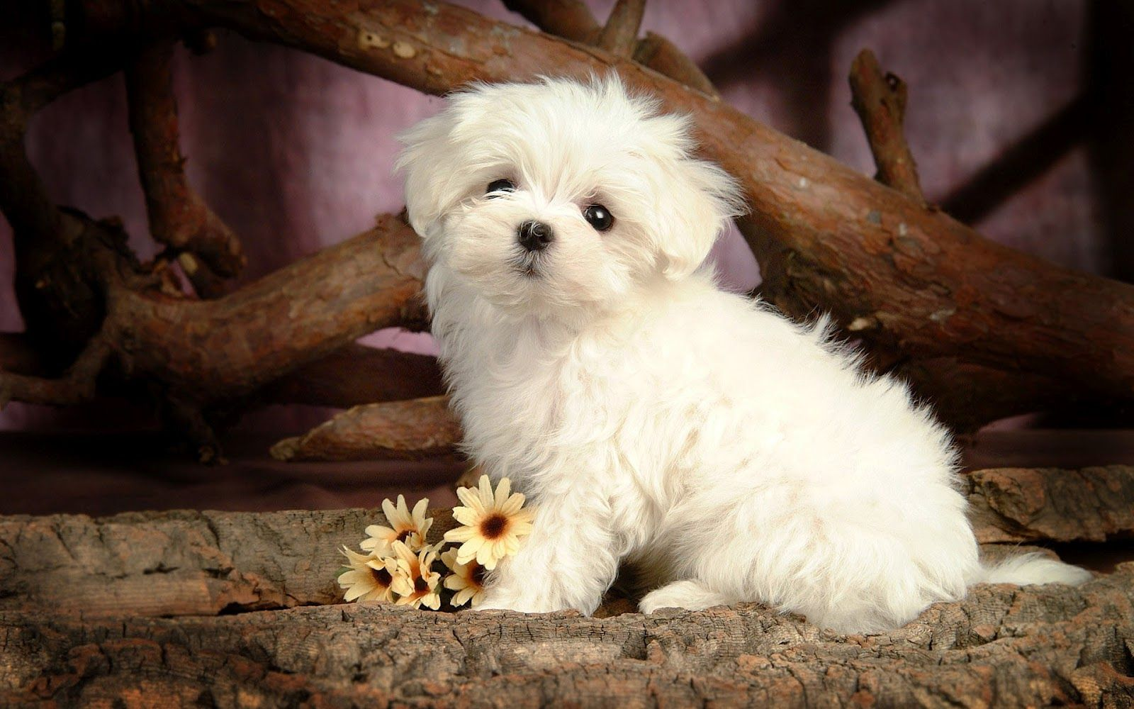 maltese dog |  with a cute little maltese dog wallpaper | hd dogs