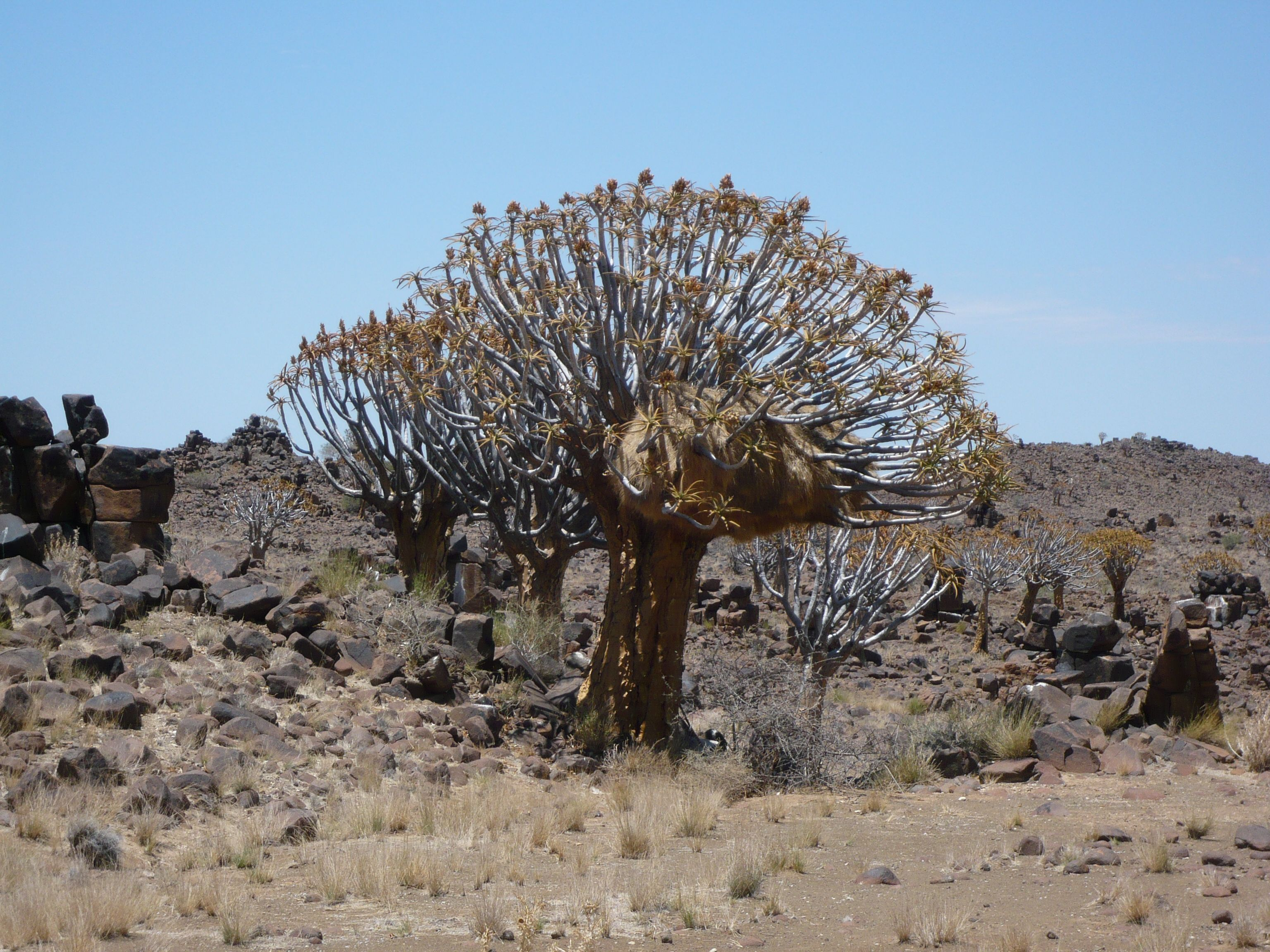 Im weiter südlich gibt es einen außergewöhnlichen Einsiedler mit eigenem Köcherbaumwald.