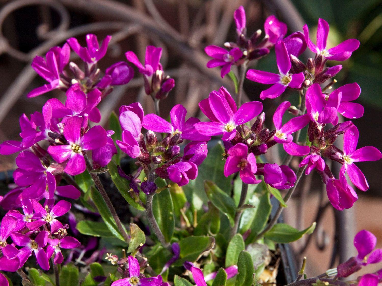 gaensekresse fruehlingszauber arabis blepharophylla