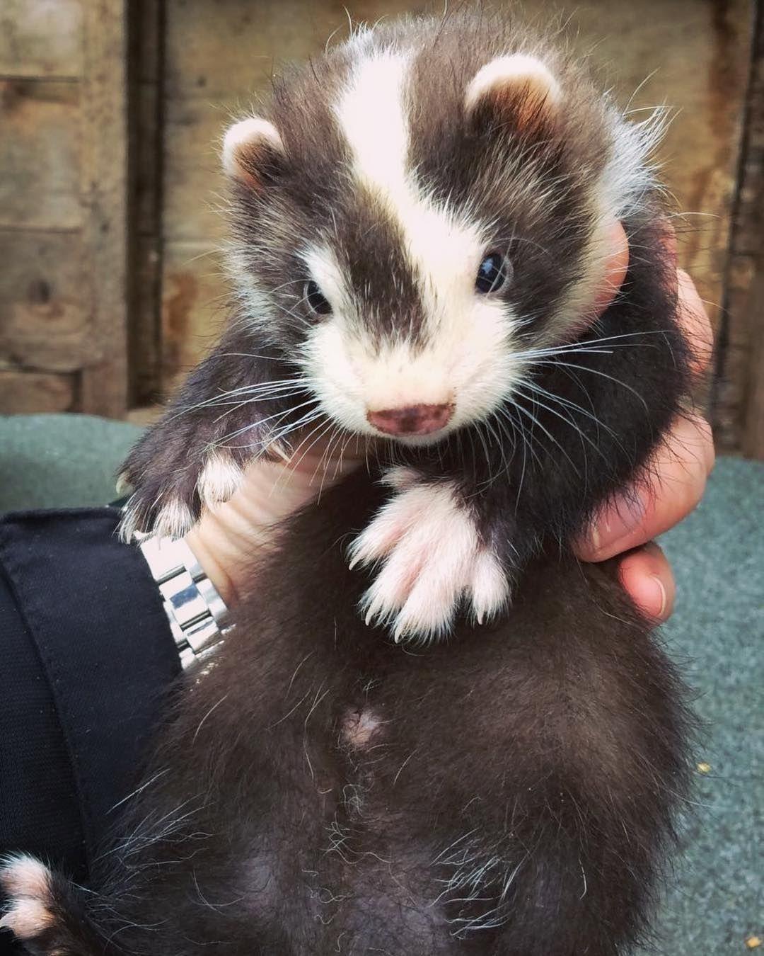 Ferret Cute Ferrets Pet Ferret Baby Ferrets