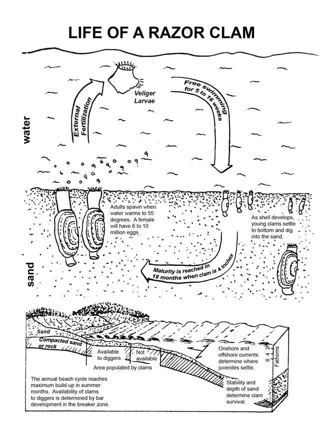 Razor Clam Shell Diagram Explore Schematic Wiring Diagram