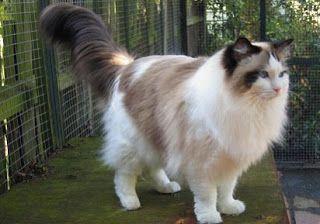 Jenis Kucing Kampung Peliharaan Persia Anggora Garfield Persia Termahal Medium Dan Harganya Ragdoll Cat Cats Fluffy Cat Breeds