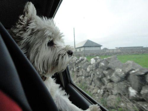Westie In Galway Ireland Westie Dogs Westies West Highland White Terrier