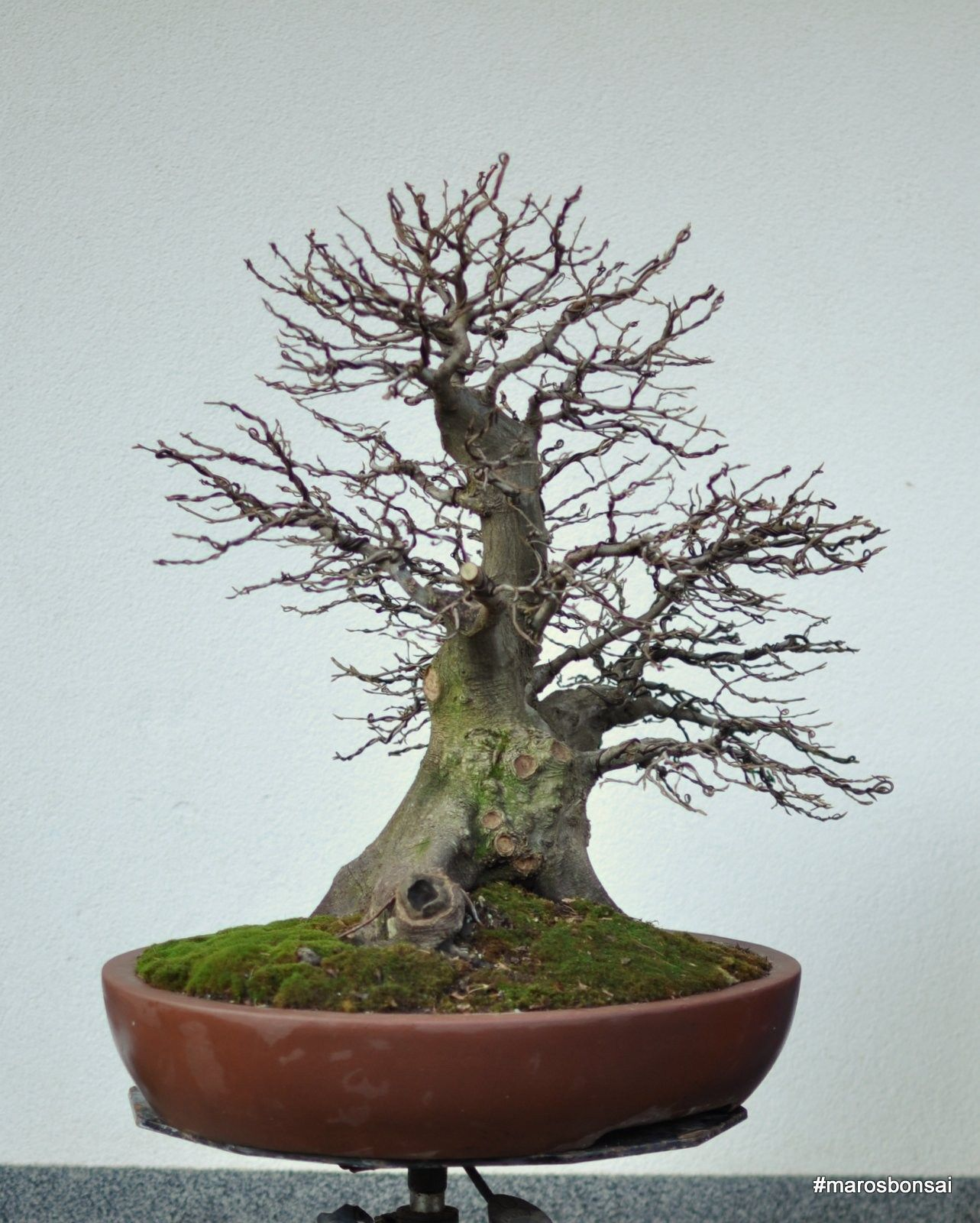 27 Elegant Best Fertilizer For Juniper Bonsai Pictures Bonsai Gallery Bonsai Trees For Sale Juniper Bonsai Fertilizer
