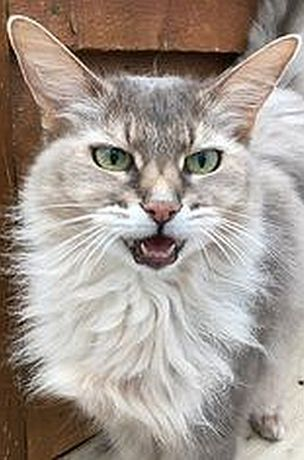 Amazing Cat With Long Ears By Rohesecattery Cat Cats Pet Pets Animal Animals Cute Nature With Images Beautiful Cats Pretty Cats Kittens Cutest