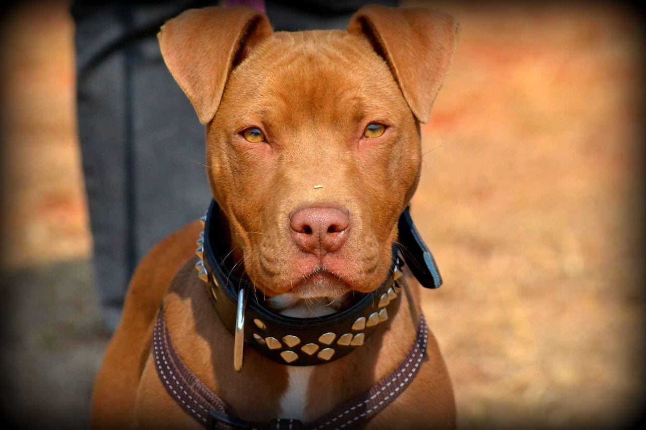 Pitbull Puppy In Pretoria Union Show American Pitbull Terrier