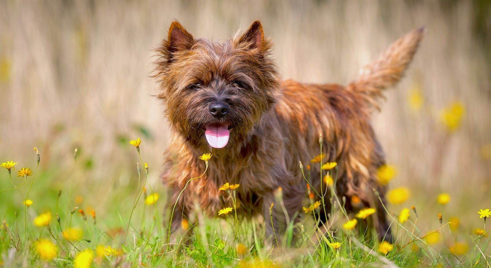 Rich Red Brindle Colouring Cairn Terrier Dog Breeder