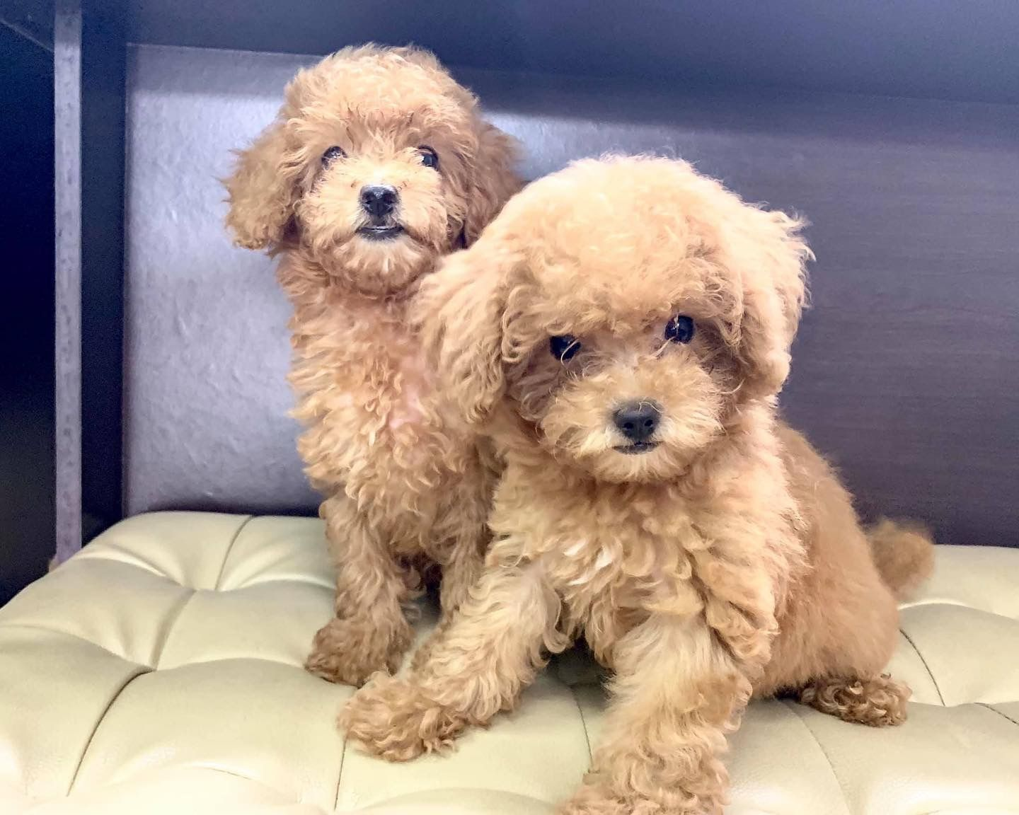 Pin On Toy Poodle For Sale