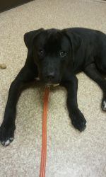Adopt Emma On Labrador Retriever Dog Retriever Dog Labrador Retriever Mix