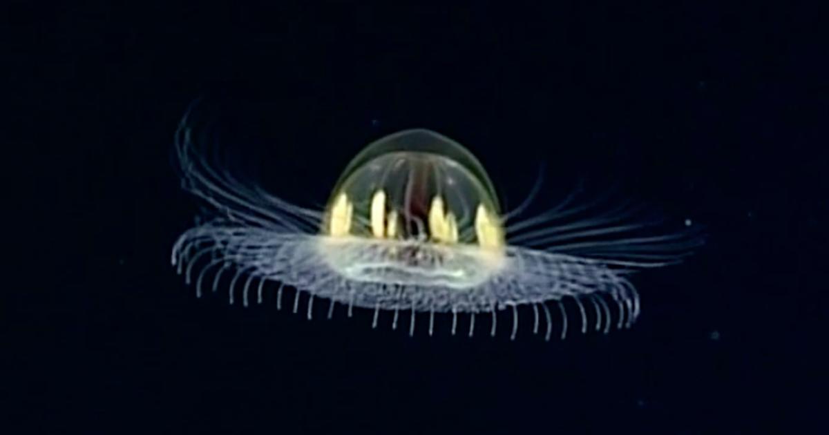5 Ubur-ubur Berwujud Aneh Dan Mirip Makhluk Luar Angkasa