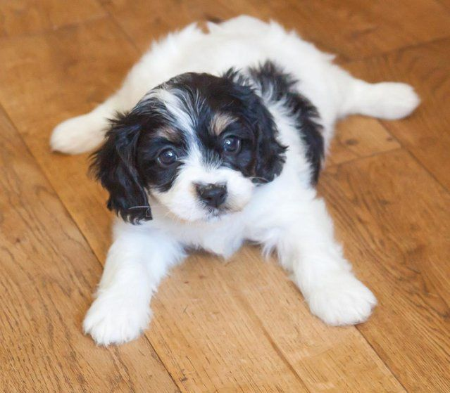 Gorgeous Cheeky Cavachons 6 Dogs And Puppies Cavachon Puppies