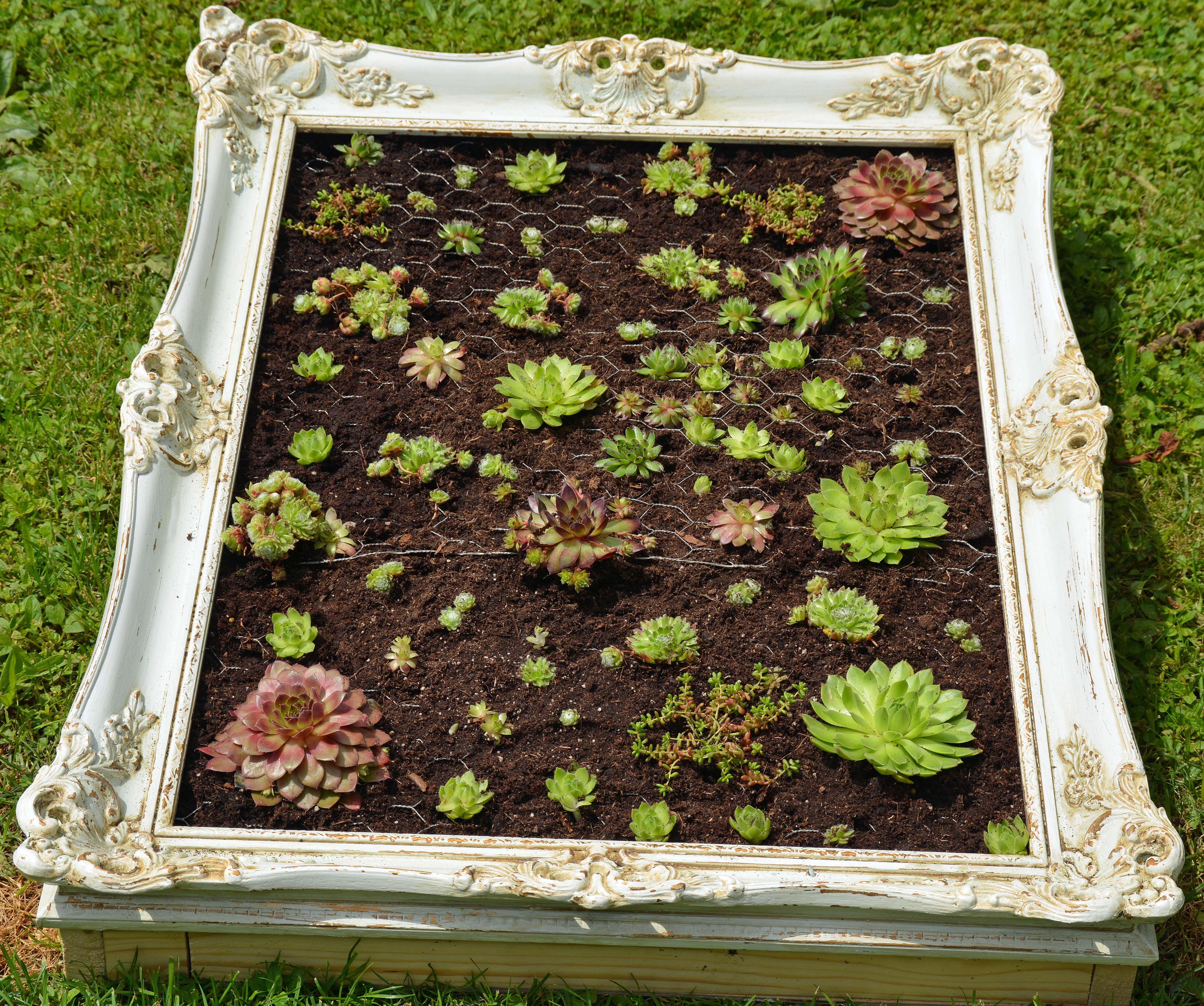ein alter bilderrahmen darunter ein kasten und bepflanzt mit succulenten wenn sie angewachsen. Black Bedroom Furniture Sets. Home Design Ideas