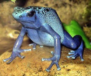 Blue poison dart frog Dendrobates azureus at Bristol Zoo, England