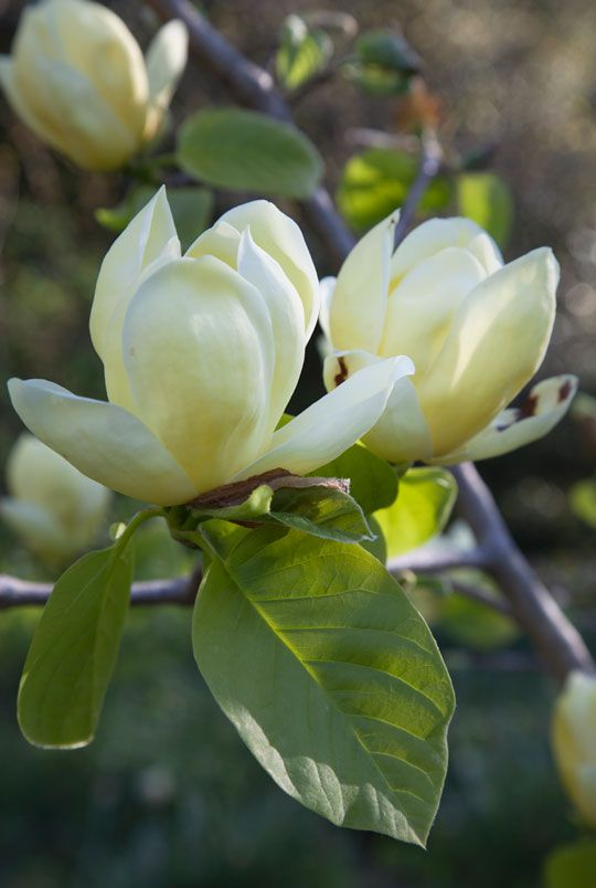 Magnolia Lois One Of The Late Blooming Yellow Magnolias From