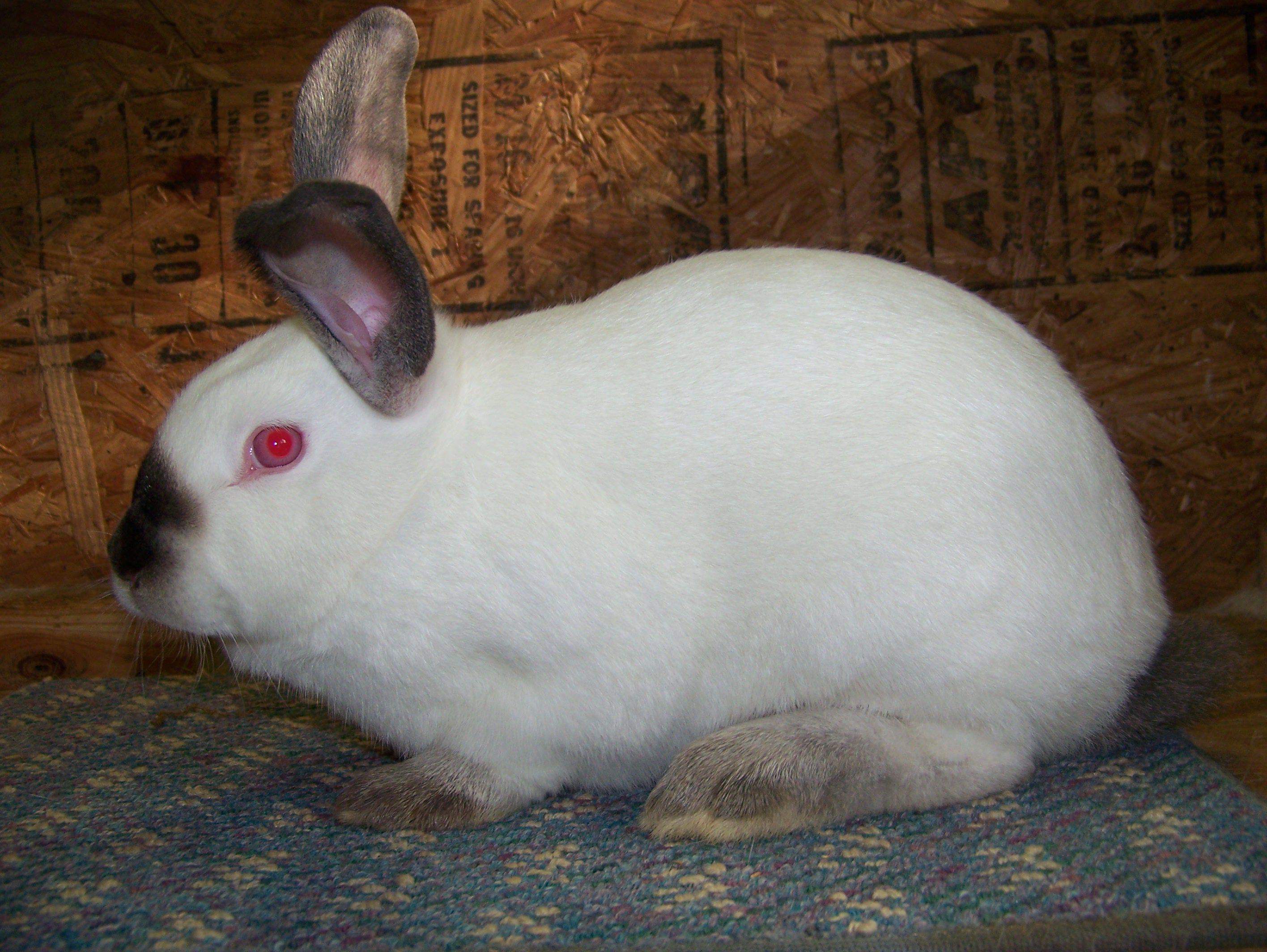 36 best mini rex rabbit images on pinterest rex rabbit bunny