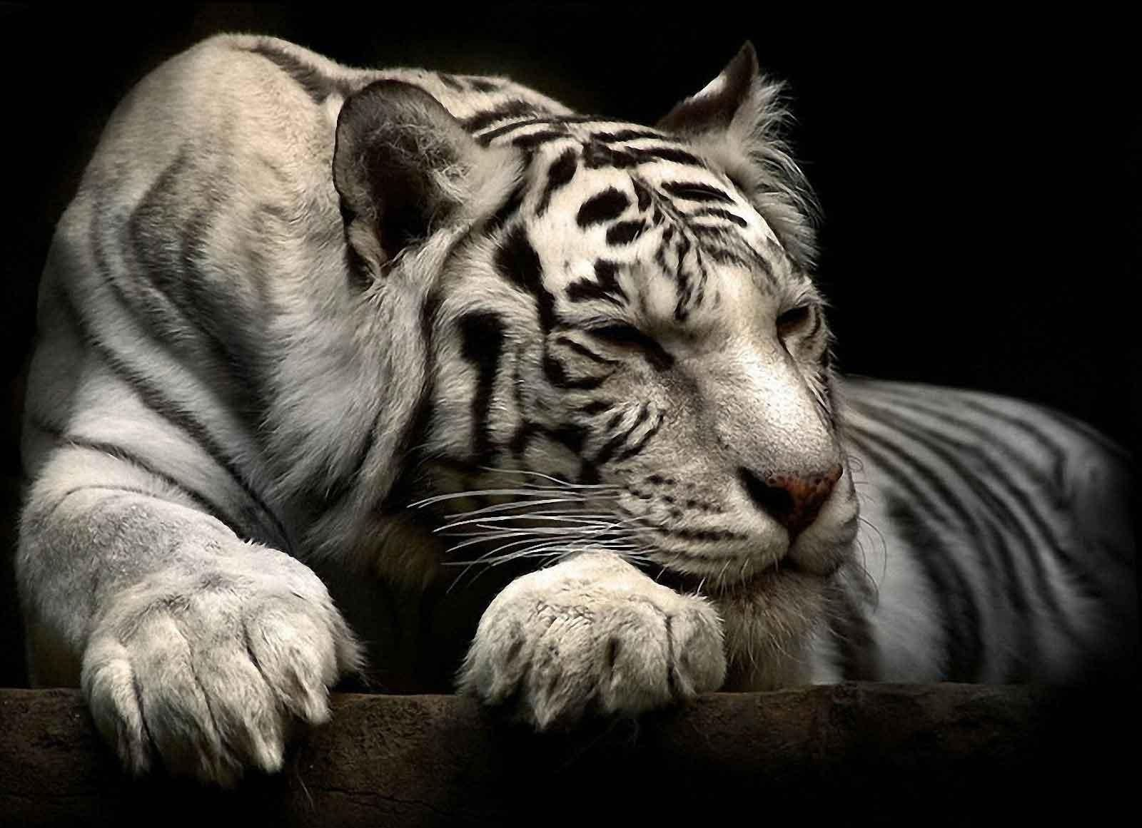 White Siberian Tiger Wallpapers Wallpaper Cave Pet Tiger Animal Wallpaper Siberian Tiger
