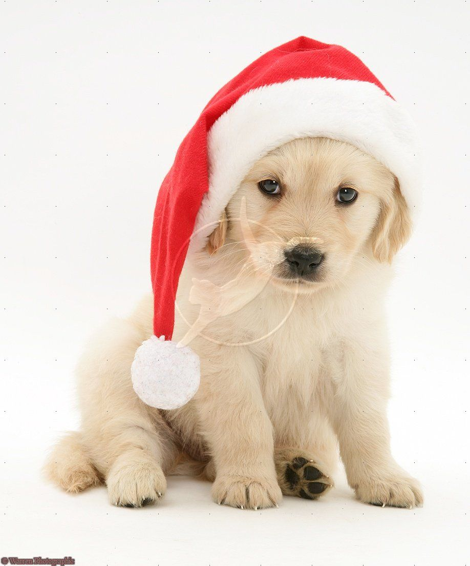Golden Retriever Pup Wearing A Santa Hat Golden Retriever