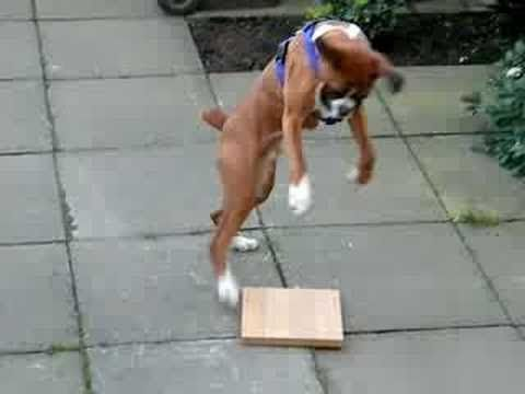 Funny Boxer Dog Video Compilation 2017 Funny Dogs Videos Boxer