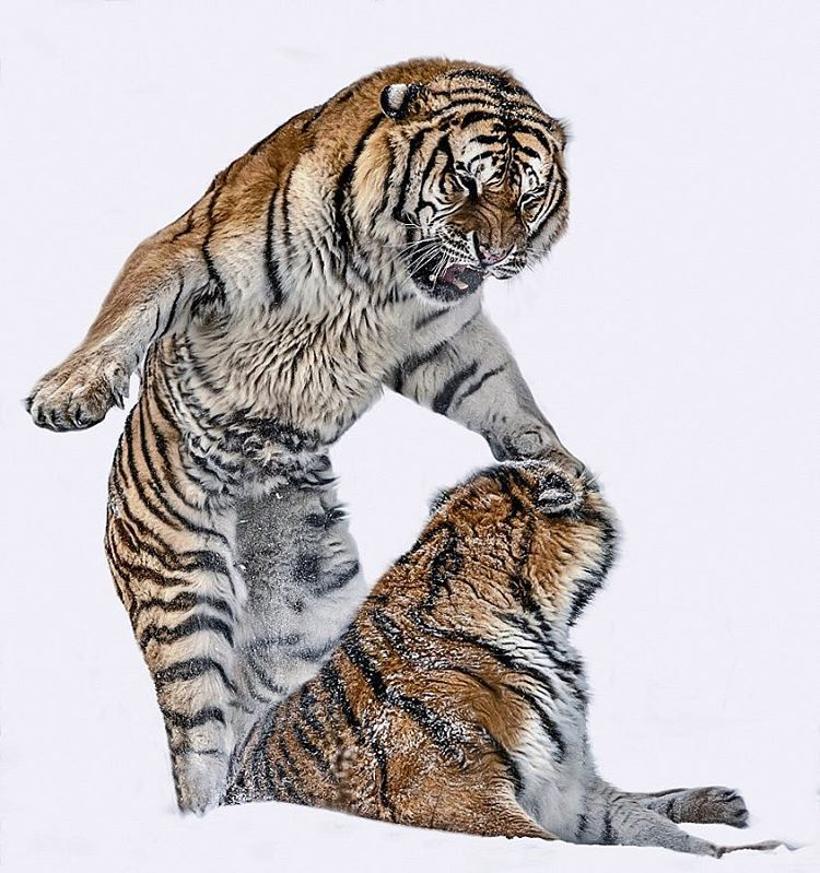 The Nature Sound (PIN_VID) Wild cats, Big cats, Animals