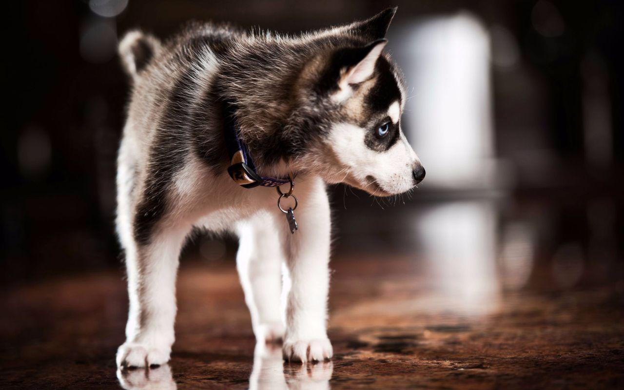 Once Upon A Pomsky Review Maine Pomsky Breeder Siberian Husky