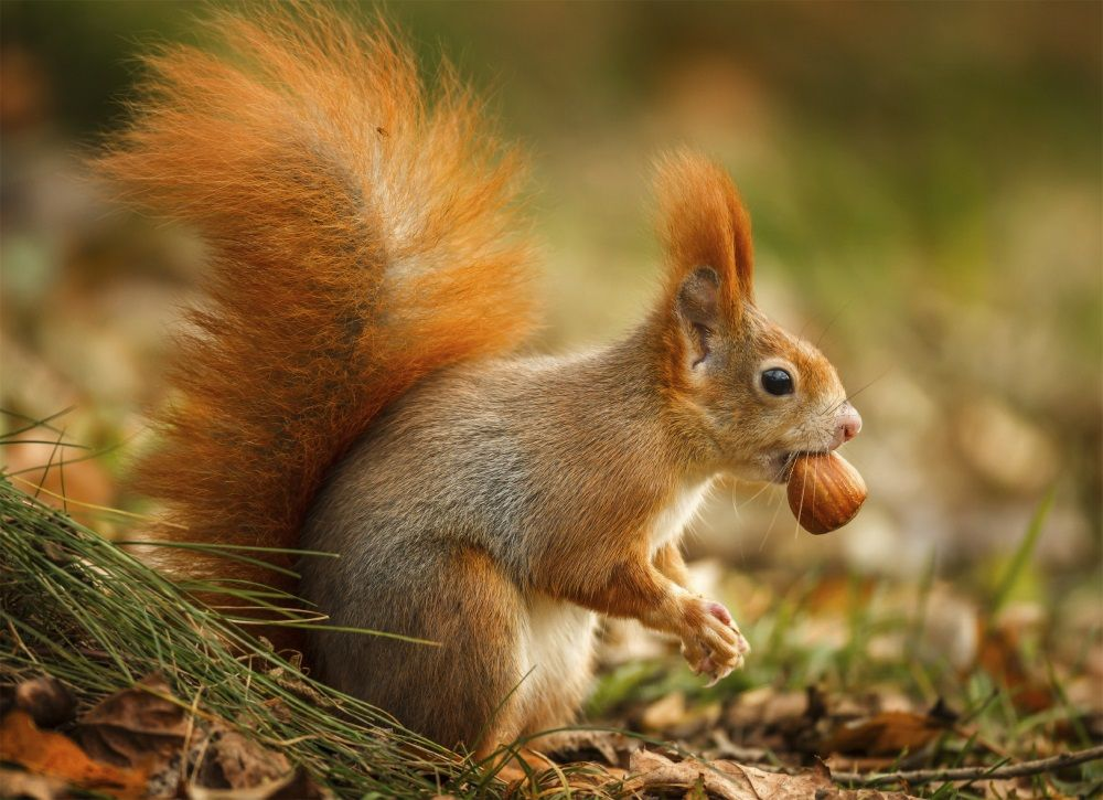 View source image animals Pinterest Red squirrel, Squirrel - kleine u küche
