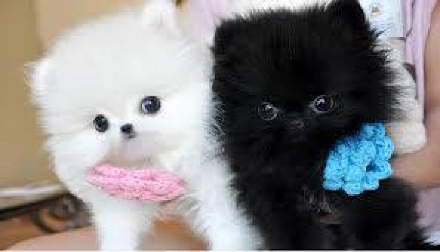 Baby Face Pomeranian Puppies For Sale With Akc Reg Papers