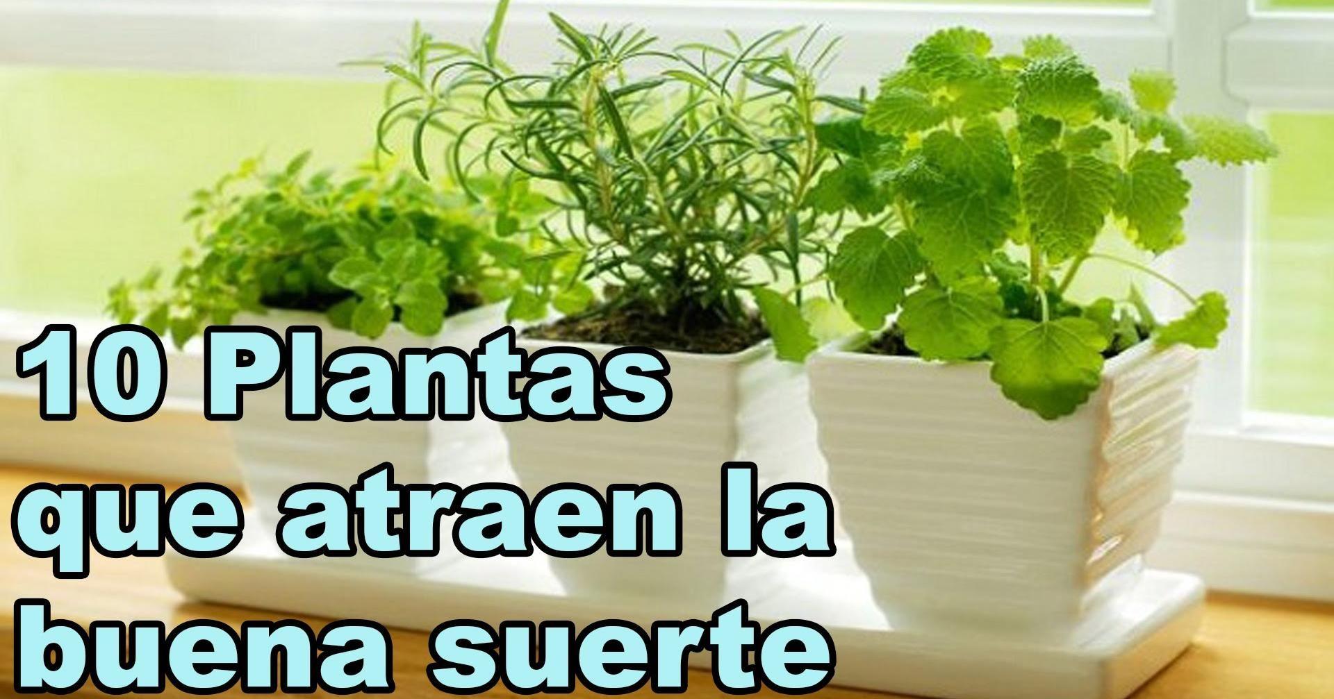 Las plantas que dan buena suerte son buena suerte - Remedios para la mala suerte ...
