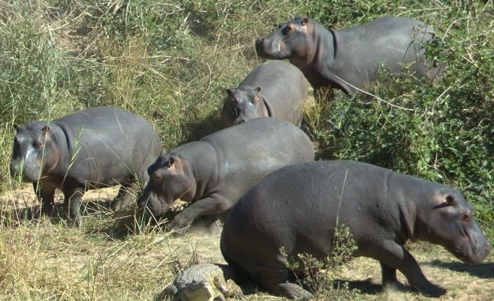 A herd of hippos in the African bush. | Hungry hippos ...