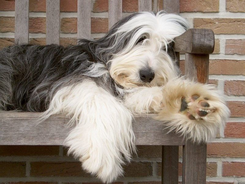 Bearded Collie Bearded Collie Collie Dog Dog Bearding