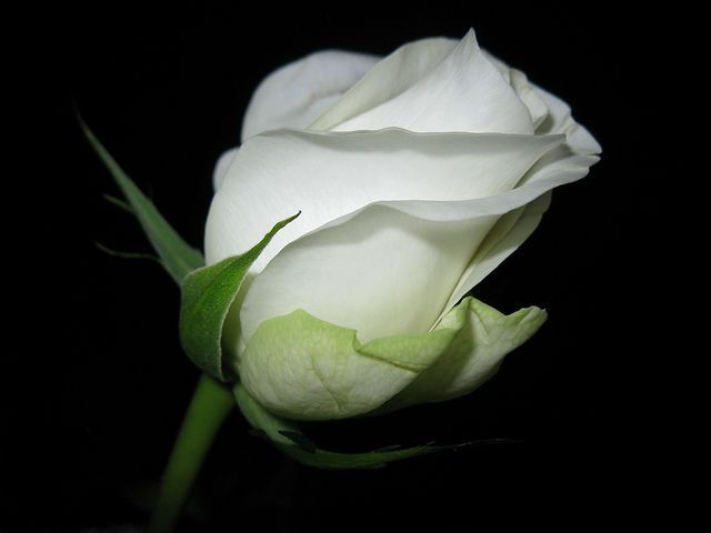 beautiful Single roses Rose | Single white rose flower ...