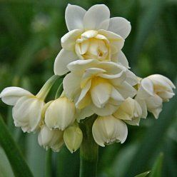 Daffodil 'Earlicheer' (AMAZING SCENT - we have these along the path leading to our front door - so lovely in spring)