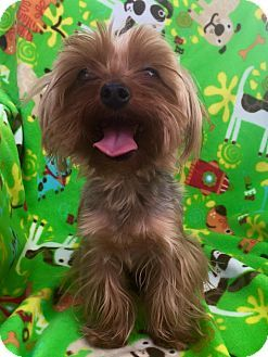 Cleveland Oh Yorkie Yorkshire Terrier Mix Meet Clownfish A Dog For Adoption Yorkshire Terrier Yorkie Terrier Mix