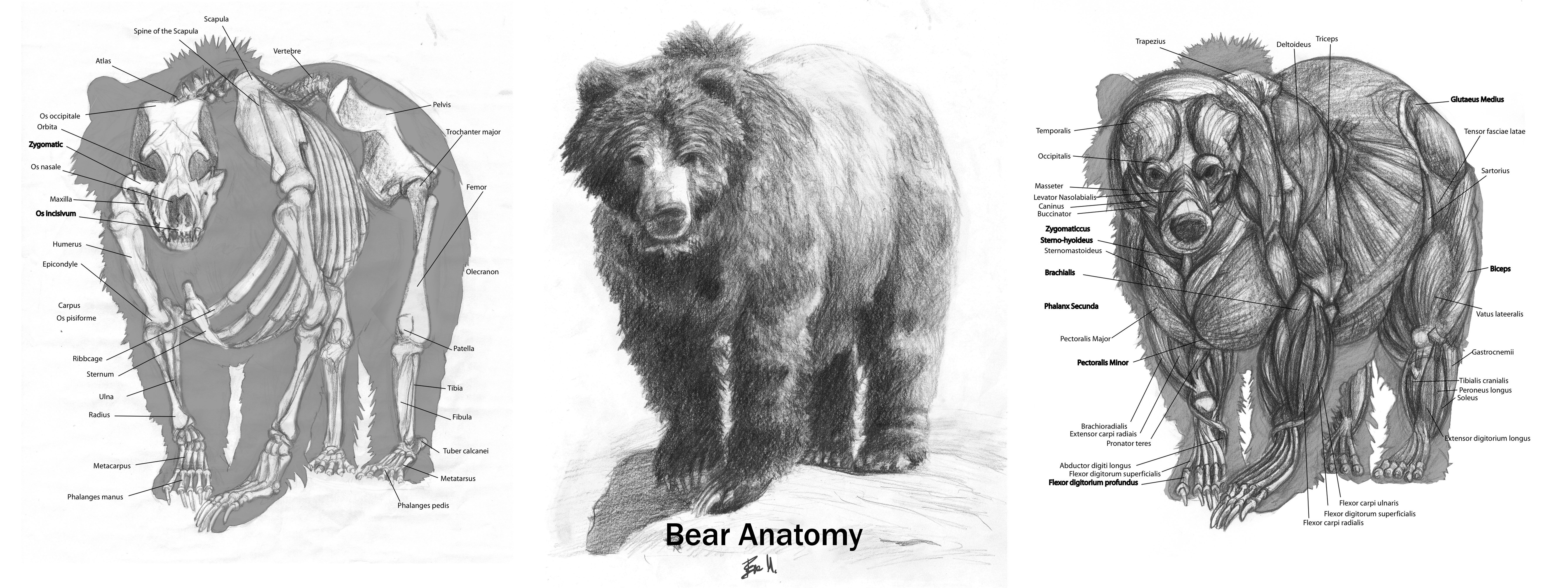 Animal Anatomy Grizzly Bear By 89ravenclaw On Deviantart