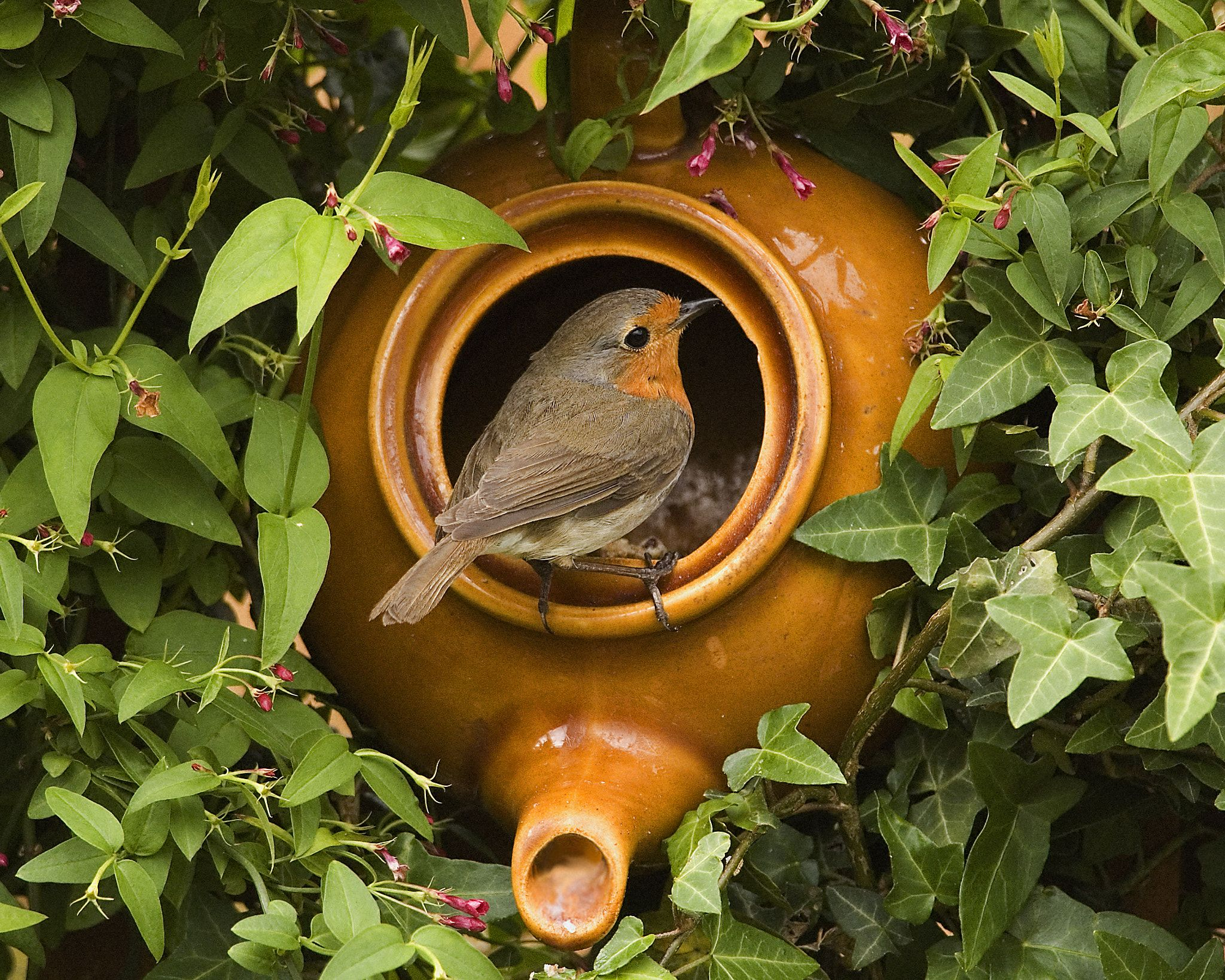 RobinPot Robin and teapot Robin bird, Bird, Pet birds