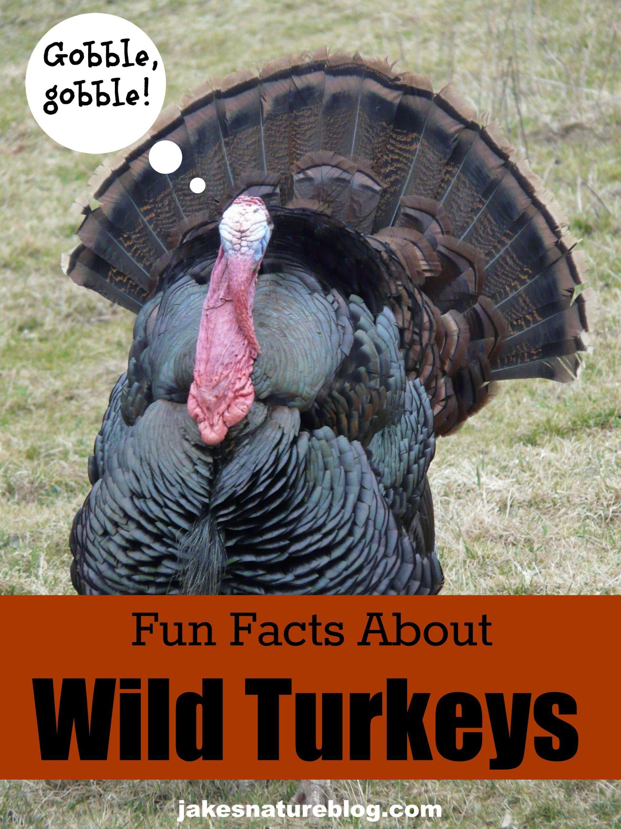 Turkey Day Terrific Facts About Wild Turkeys Jake S Nature Blog Wild Turkey Turkey Facts Pet Birds