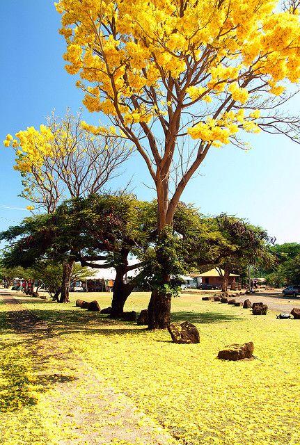 Yellow Cherry Blossoms Waimea Kauai Waimea Kauai Kahoolawe