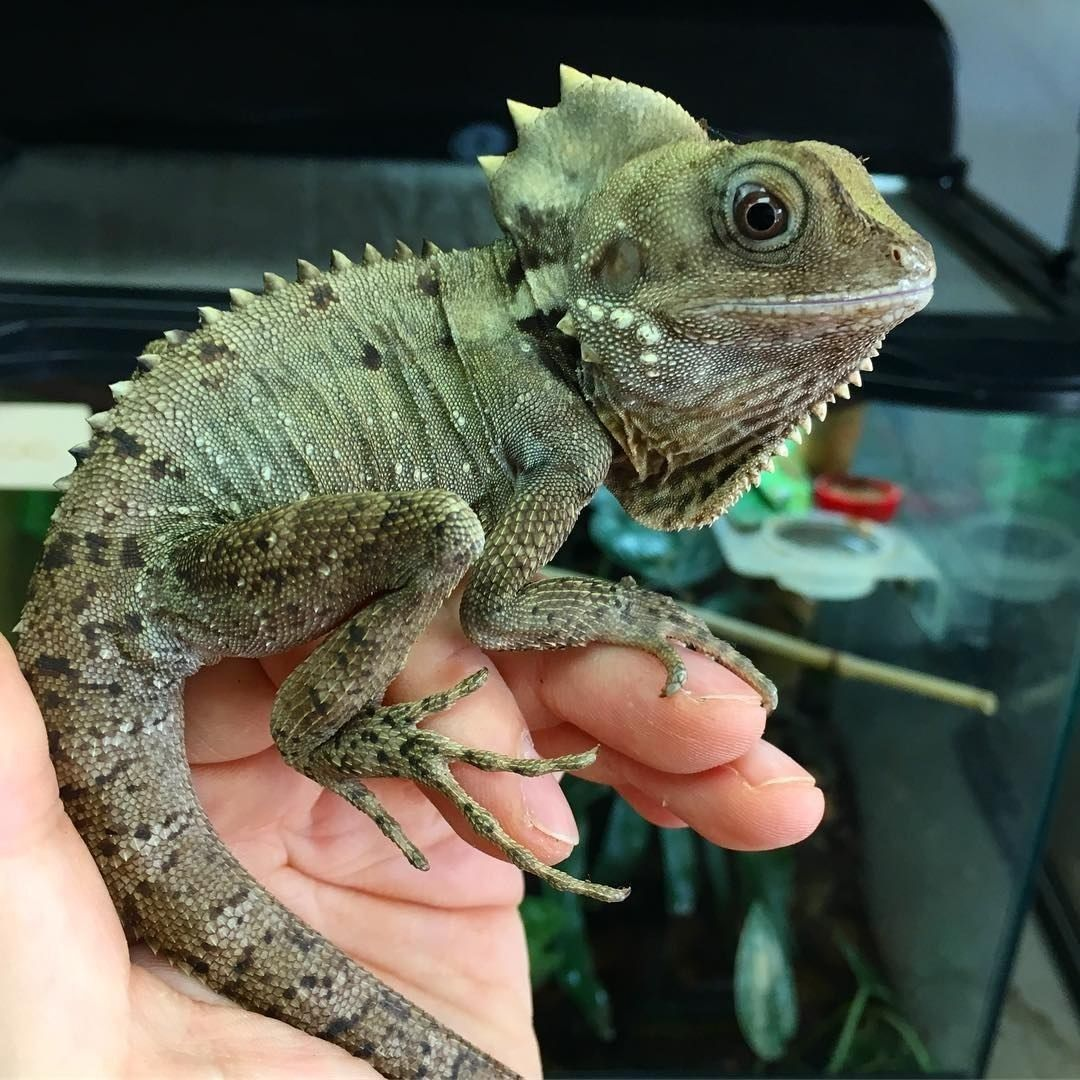 Boyd S Forest Dragon Nocturnal Arboreal Lizard Found In