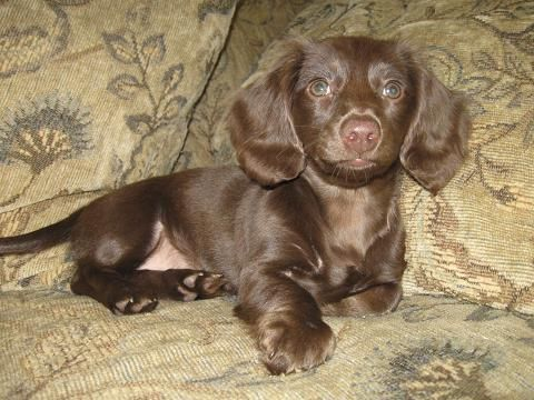 AKC Dachshunds puppies for sale in california Dachshund