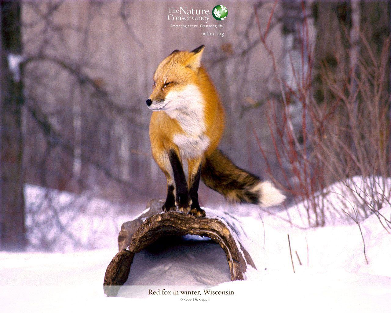 Decorate Your Desktop Decorate Your Desktop With Our Favorite Desktop Wallpapers The Nature Conservancy Animals Wild Animals Beautiful Fox