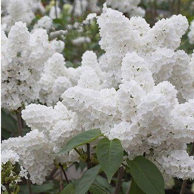 100 pz bianco giapponese lilla pianta facile crescere - Gardenia pianta da giardino ...