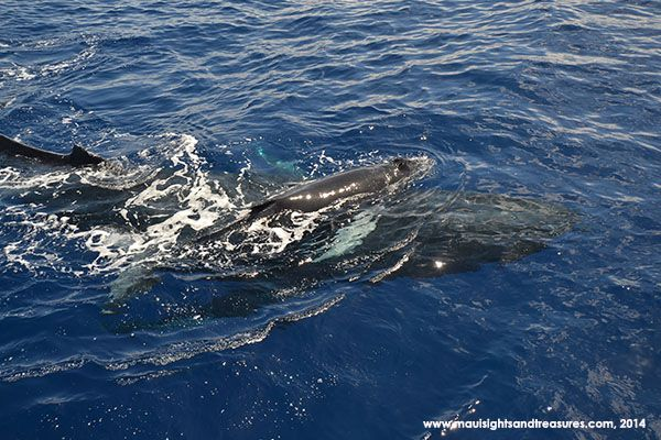 maui humpback whale season is fast approaching! Would be amazing to see!