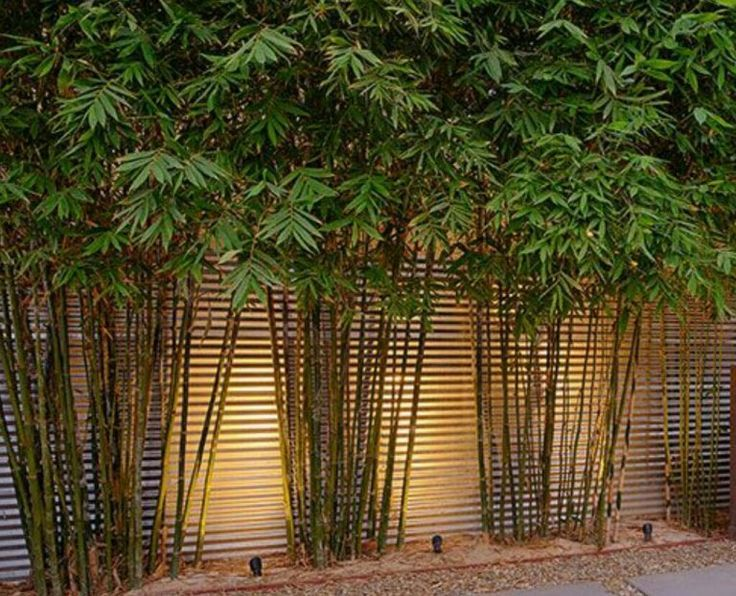 Medium hedges | Jungle Flora Bamboo #sichtschutzpflanzen