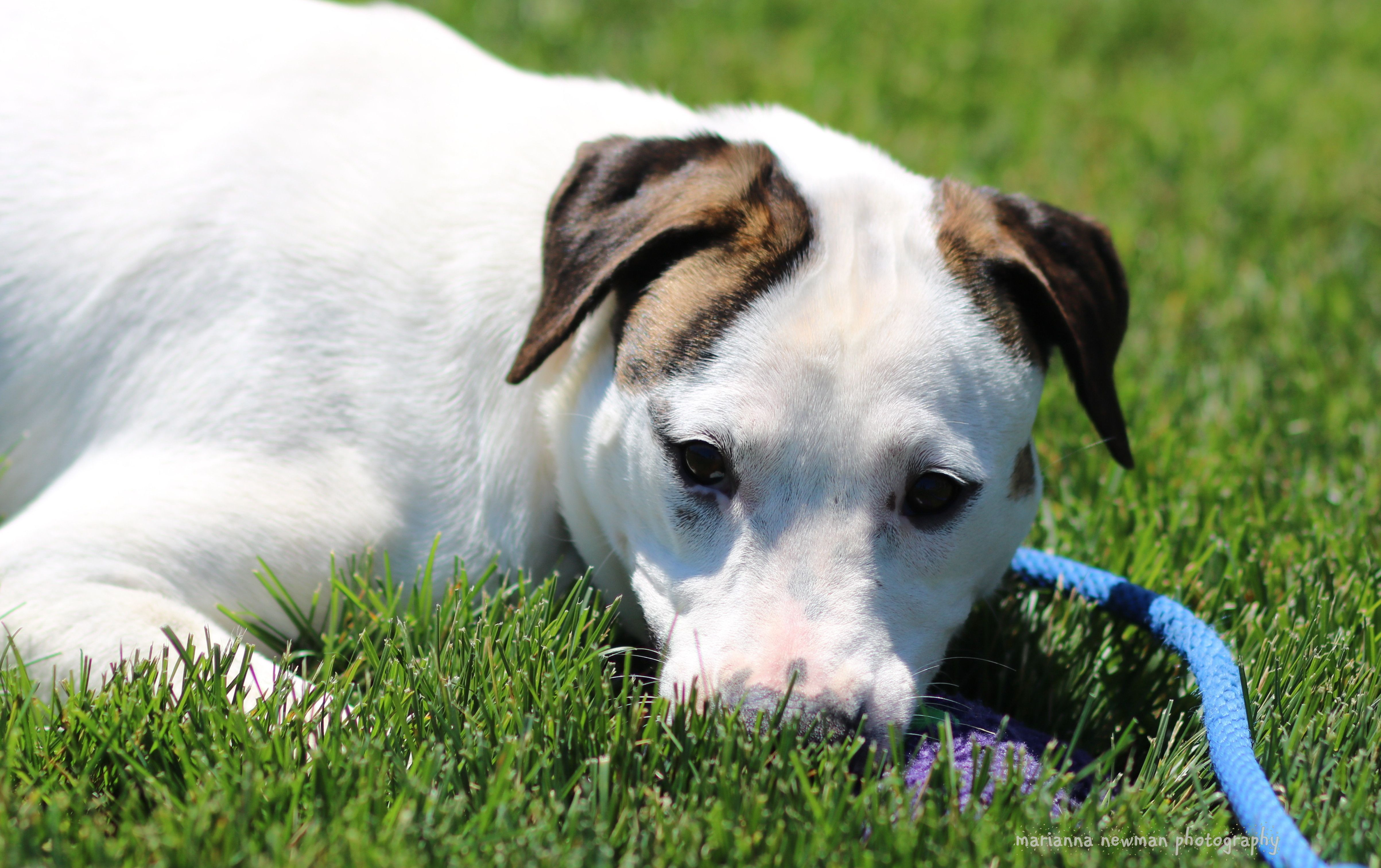 Adopt Sugar On Dog Adoption Terrier Mix Dogs Rescue Dogs