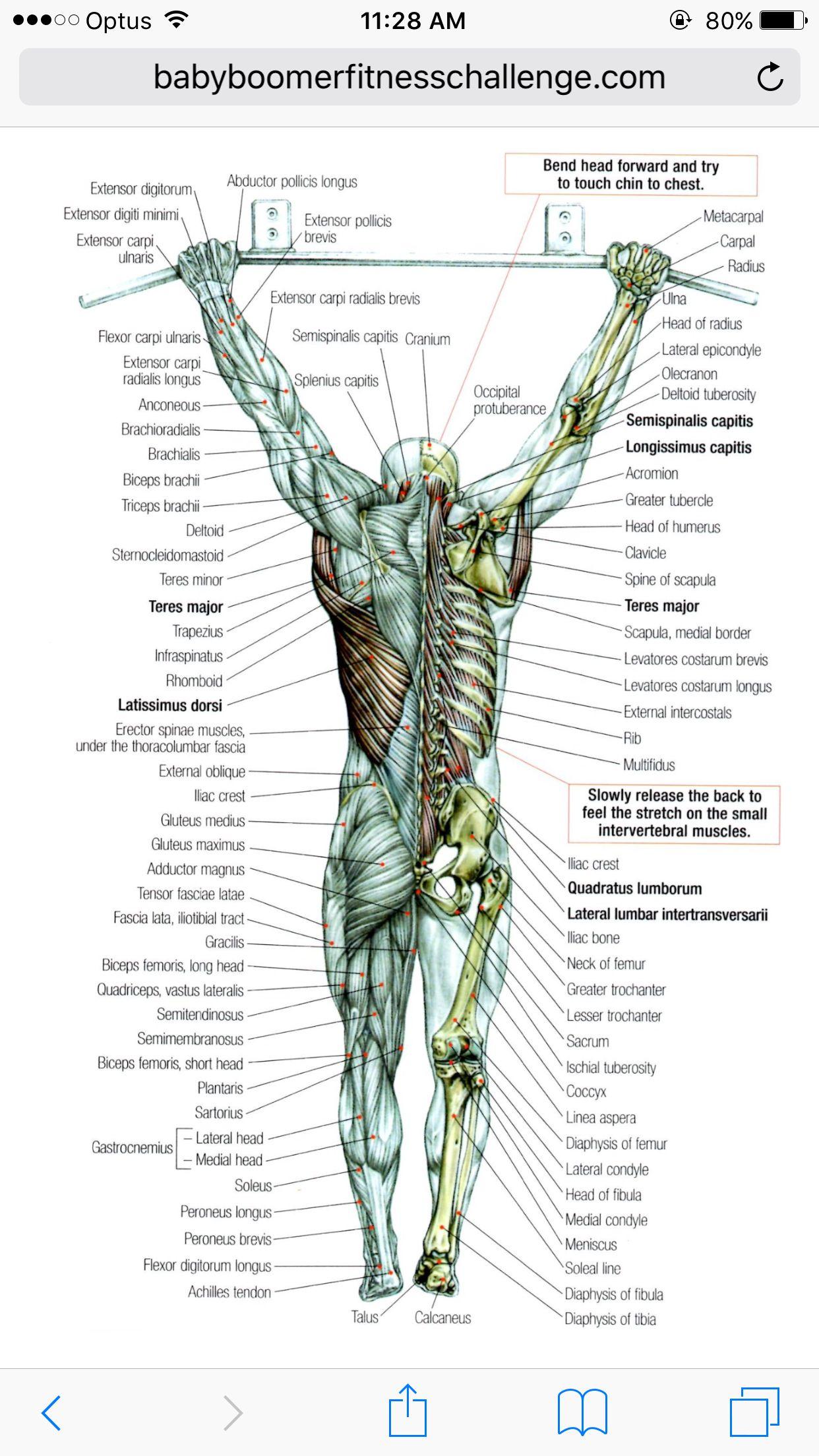 Anatomy! | Physiotherapy, health, fitness | Pinterest | Anatomy ...