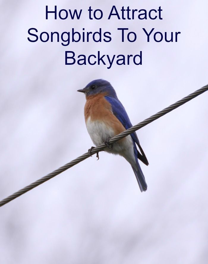 How to Attract Songbirds To Your Yard and Garden | Birds ...
